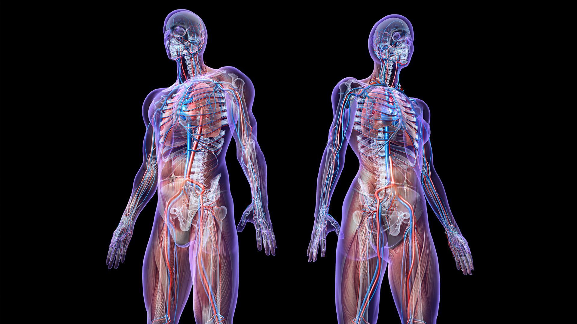 "Interstitium: New Human ""Organ"" Discovered"